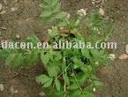 radix valerianae /valerian root