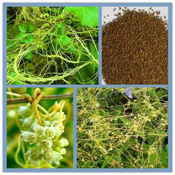 Dodder extrato de sementes de cuscuta chinensis p. E e. Campesterol