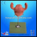 Mô hình giải phẫu Uterus ISO sơn nhân nữ cao cấp