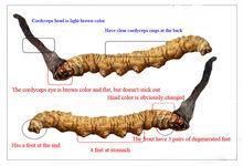 All kinds of cordyceps product avaliable