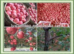 2013 Seasonable fresh Fuji apple hot sale in Middle East