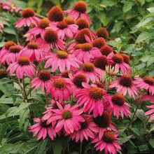 High Quality Natural Echinacea Purpurea, Indian Medicinal Herb Dried, artichoke for tea