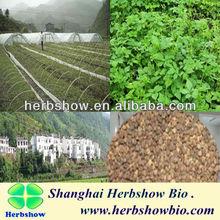 Jiaogulan seeds/ Gynostemma pentaphylla seeds for planting