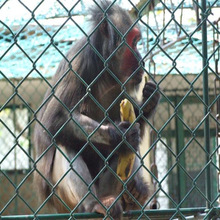 2015 Best Selling! Chain Link Fence With Poultry/Rabbit/Chicken/Dog/Monkey Alibaba China Supplier