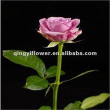 Miniature roses wholesale