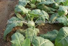 Fruit-type Kohlrabi Seeds for Sale