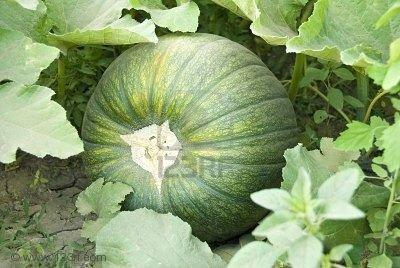 Pumpkin Hybrid (Kashi Phal)