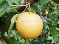Best Price of Fresh Singo Pear Crop 2014 Fruit
