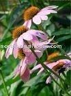 Echinacea Extract--- Polyphenols
