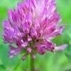 Red Clover Herb Extract biochanin a powder
