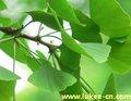 planta de folhas de ginkgo biloba extrato pode melhorar a memória