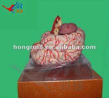 Anatómico avanzada cerebral modelo, Humano modelos de piezas