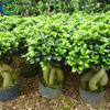 2013 New Ficus Ginseng