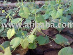 Tissue Culture Parval plants
