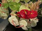 Anthurium Fresh Cut Flowers