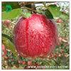 new season fresh red delicous sweet crispy minerals Tianshui huaniu apple