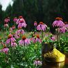 Pure Nature Echinacea Extract Cichoric Acid 4%