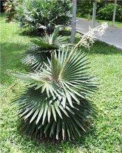 Cocothrinax borhidiana palm seeds