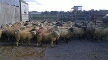 live lamb sheep