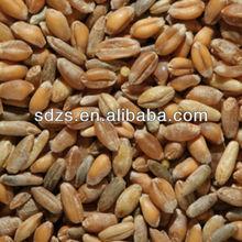 first grade barley grains for sale