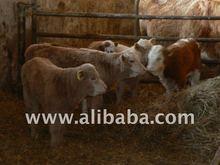 3-10 Months Fattening bulls,heifers