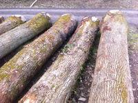 European White Oak Round Logs