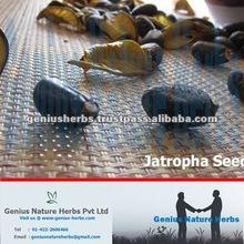 High Yield Jatropha Curcas Seeds for Export