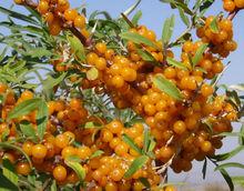 High quality Seabuckthorn Fruit Oil in 2014