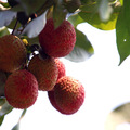 Top Quality Litchi extrato
