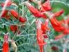Sutherlandia frutescens 3% polyphenol extract