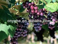 Strong Grape Essence ,Grape Flavour