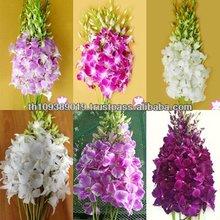 High Quality Beautiful Thailand Fresh Cut Orchid Flowers