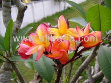 Plumeria Acutifolia tree