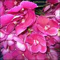 Vanda rosa. Fresh cut orquídeas vanda