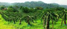 Dragon Fruit Plantation