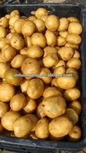 Holland Seed Potato from Pakistan