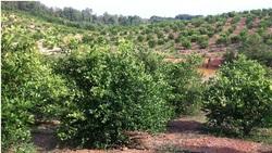 Fresh Lime ( Limau Lipis)