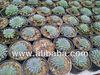 Echeveria setosa deminuta Very Blue Succulent Plant Crassula Ariocarpus