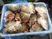 Frozen Farmed Atlantic Salmon (Salmo Salar) Heads