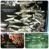 TROPICAL FISH SILVER AROWANA 5-6 CM (indofishexporter.com)