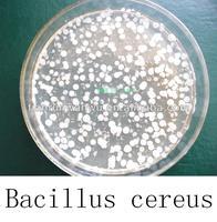 Bacillus cereus powder