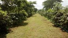 16 ha of Arabica Catimore Coffee farm