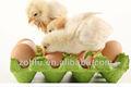 tipos de nascedouro incubadora do ovo