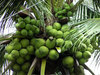 TROPICAL FRUIT - FRESH YOUNG COCONUT - GOOD TASTY - GOOD PRICE