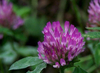 High Quality 100% Natural Red Clover Extract