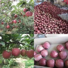 Red star apple from Tianshui
