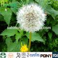 natural extrato de dandelion