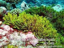 estrazione alghe ascophyllum nodosum