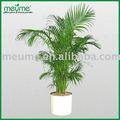 """Al coperto in vaso alberi di palma - chrysalidocarpus lutescens"""" palma areca"""""""