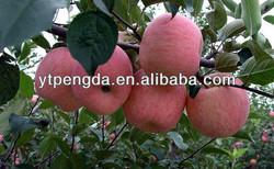 sweet crisp high quality fresh shandong fuji apples